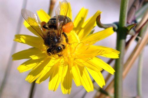 Za človeka koristna in pridna čebela Bildunterschrift (slika: pixabay)