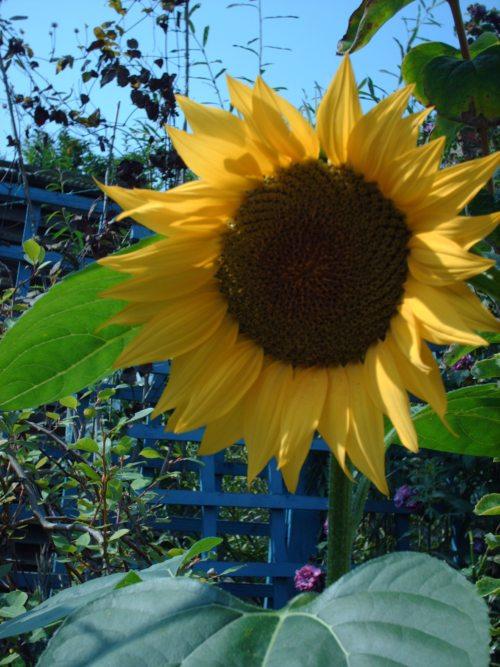 Die Schönheit der Sonnenblume und das Gebet zu Gott erhellt uns den Morgen. (© Foto: Foto: morguefile.com)